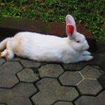 snowwhite kelinci