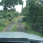 Wild Chickens on the way to B&B