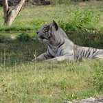 White Tiger-Rarely seen in India