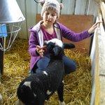 feeding baby lamb