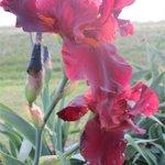 Spring Irises were blooming in May