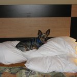 Boomer relaxing at the Best Western Fallsview