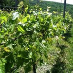 Picture of the Vineyard close up