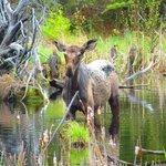 Local Moose