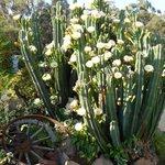 Garden flowering cactus