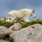 Mount Evans - Mountain Goat