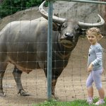 Jack the Water Buffalo