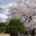 lots of Sakura trees in the park.
