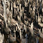 Francis Beidler Forest Audubon Park - Cypress Knees