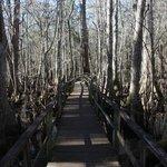 Francis Beidler Forest Audubon Park - Boardwalk