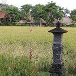 Rice fields border the resort property