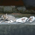 The cat family that lived in the shrine