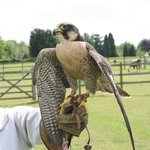 Falconry Experience day at Harlow