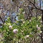 Texas mountain laurel blooming in March