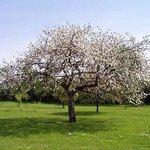 pommes pour fabrication du cidre breton