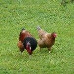 Im Garten gibt es freundliche Hühner und einen stolzen Hahn