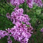 Lilac Collection - There are more than 380 lilac plants of 176 different kinds at the Arboretum.