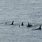 Group of Orcas off Lime Kiln