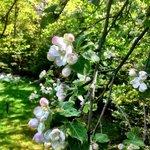 Apple tree blooming in side yard.