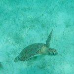 Sea turtle snorkeling on Yannis excursion