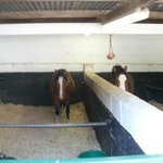 Eric and Ernie welsh ponies
