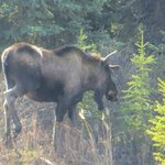Moose spotted at the lodge