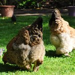 Pet chickens in garden