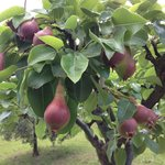 Pear trees on property