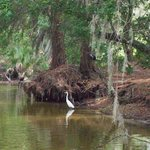 Heron 6 Dora Canal June 2013