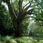 arbres centenaires