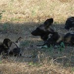 Wild dogs enjoying and afternoon snooze