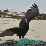 Posing turkey vulture
