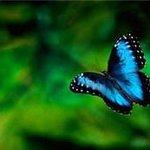 blue morpho in the butterfly garden