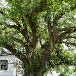 200 year old Oak tree