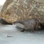 Otter at Neushonau