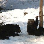 Bears at Neushonau