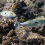 White Goatfish
