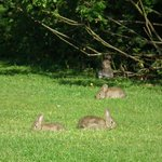 rabbits enjoying the golf course