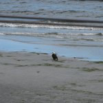 Spotted this eagle on the beach, from our deck.