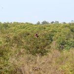 A Brahminy Kite in flight