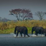 Elephant Crossing the Zambezi River at Imbabala