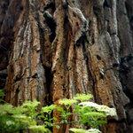 détail du séquoia manoir du vaumadeuc