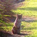 Closeup of Bobcat- Green Cay Wetlands-1-27-13