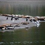 harbor seals at Goat Rock Beach