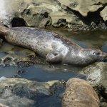 California Harbor Seals give birth here