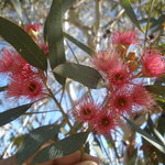 Beautiful flowering red gums in our Park attract some wonderful native birdlife of the Flinders