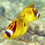 Racoon Butterfly Fish at Lawai