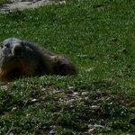 quel plaisir de voir une marmotte et de la photographier ..!!!