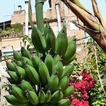 Bananas in the Garden area