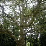 Wuchtiger alter Baum